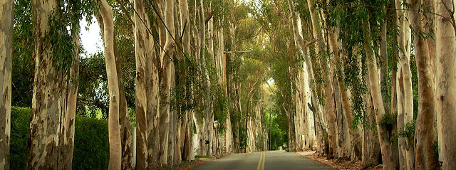 Trees Of Santa Barbara