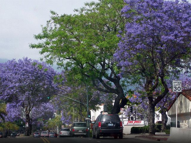 jacaranda-tree-santa-barbara
