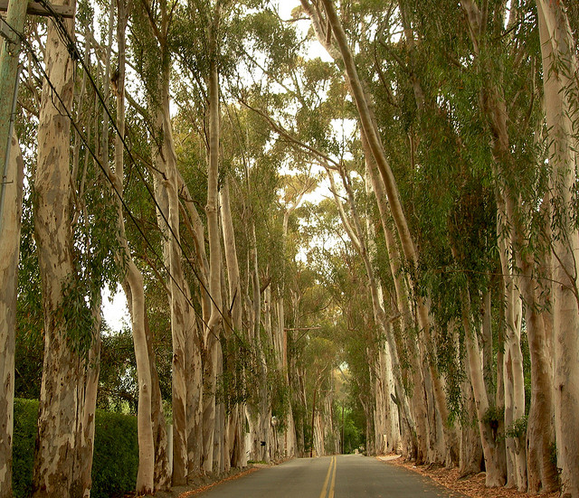 park-lane-eucalyptus-santa-barbara