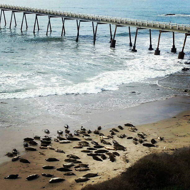 carpinteria-seal-rookery-seals