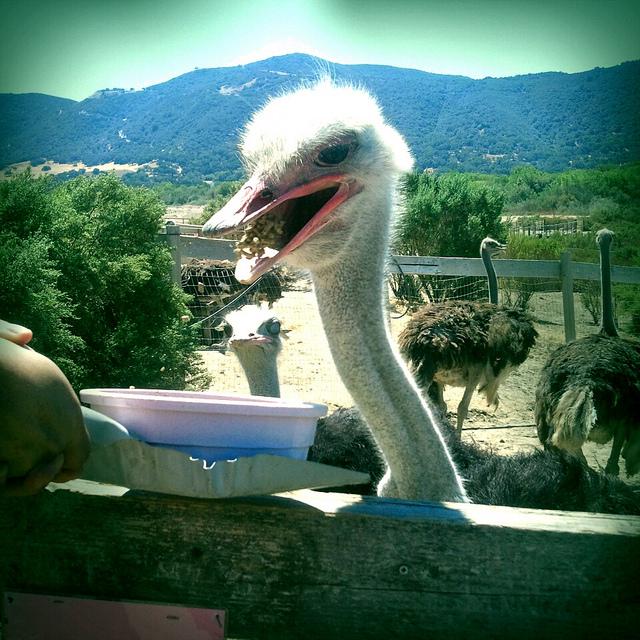ostrich-land-santa-ynez