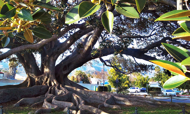 santa-barbara-moreton-bay-fig-tree