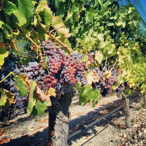 santa-barbara-wine-tasting-grapes